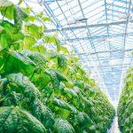 greenhouse crops lighting