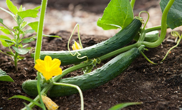 home grown cucumber direct sowing in vegetable garden