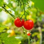 home grown tomatoes in greenhouse