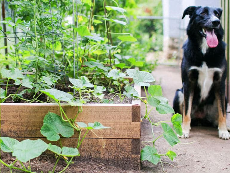 raised beds in greenhouse grow vegetables at home dog